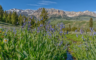 Idaho Bluebells and Boulder Mountains