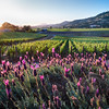 Row of Grapevines and Pink Flowers, Napa Valley, California