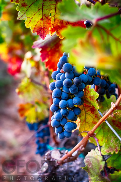 Close Up View of a Ripe Bunch of Red Grapes, Oakville, Napa Valley California