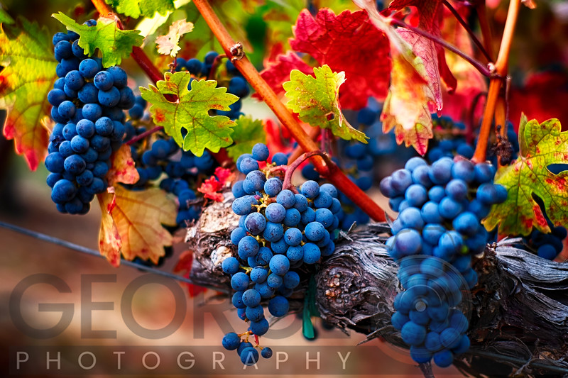 Bunch of Red Grapes on the Vine, Oakville, Napa Valley California