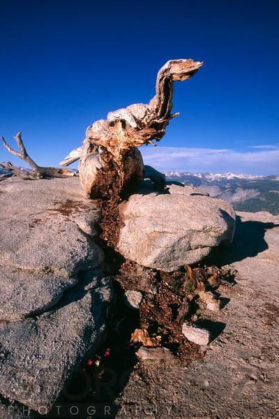 Decaying Tree of a Dinosaur Likeness, Sentinel Dome, Yosemite National Park, California