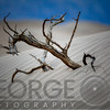 Dead Tree Buried in the Sand, Mesquite Dunes, Death Valley Nat'L Park, California