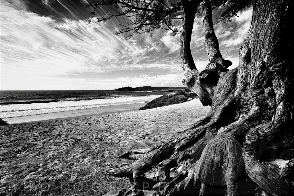 Carmel Beach Tree, California