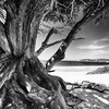 Twisted Roots on the Beach, Carmel by the Sea, California.