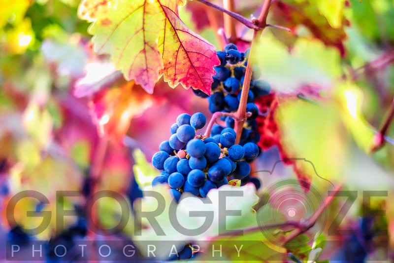 Red Grapes in Napa Valley