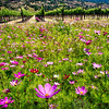 Spring Wildflowers and Row of Grapevines, Napa Valley, California
