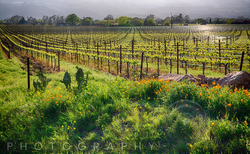 Spring Vine and Poppies in Napa Valley, Rutherford, California