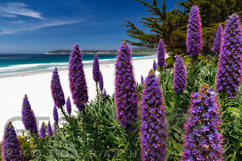 Blue Wildflowers (Pride of Madeira) Blooming Along the Pacific Beach, Carmel-by the Sea, Monterey Peninsula, California.