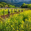Yellow Mustard Blooming Between Rows of old Grapevines, Calistoga, Napa Valley, California