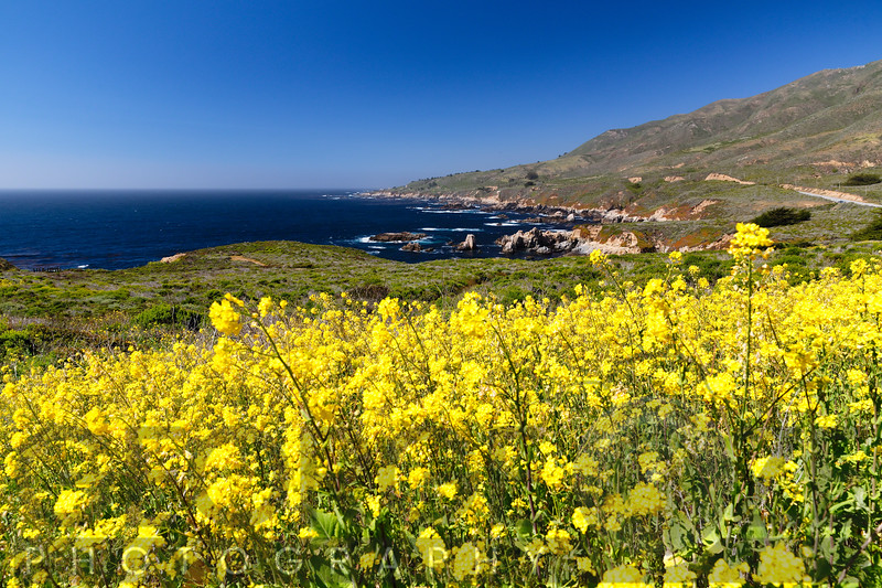 Yellow Mustard Blooming at the Coast, Garrapata State Park, Big Sur, California