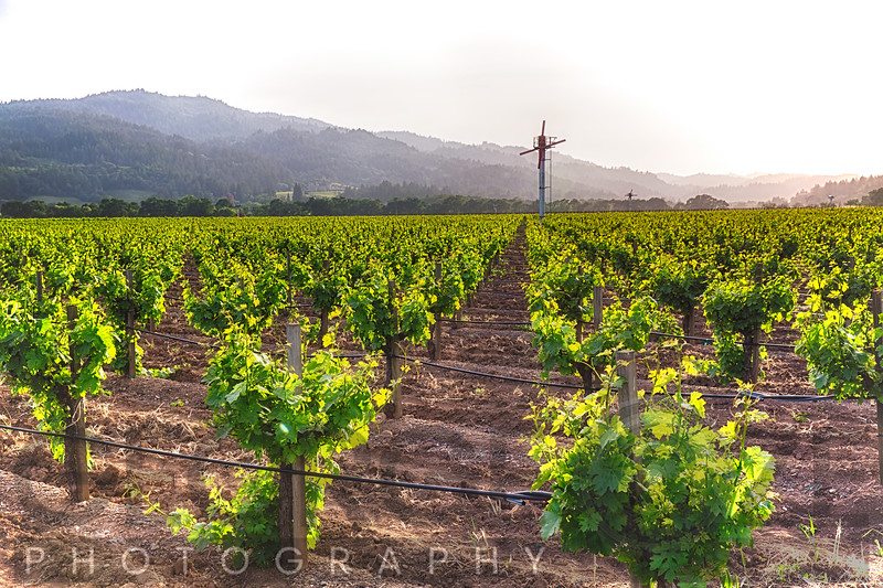 Row of Grapevine with Drip Irrigation and Wind Machine, Napa Valley California