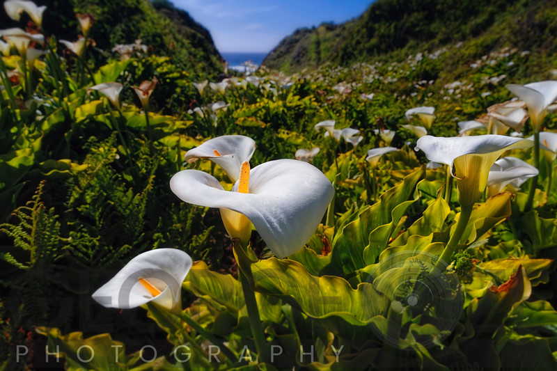 Coastal California Lilies