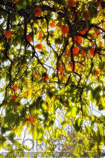 Orange Tree Branches with Orange Fruit, California
