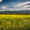 Napa Valley Spring Vista with Blooming Yellow Mustard and Palm Trees, Rutherford,California