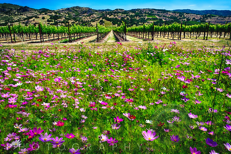 Low Angle View of Spring Wildflowers and Row of Grapevines, Napa Valley, California