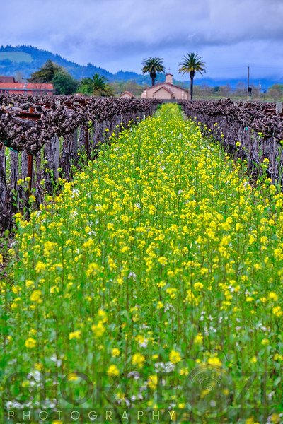 Yellow Mustard Blooming in a Vineyard, Rutherford, Napa Valley, California