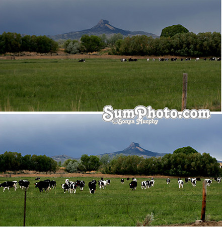 Dairy Cows in Spring Pasture With Heartmountain in Background
