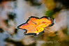 Water wrapped around edges of autumn leaf at Stevenson Park In Middletown, New Jersey