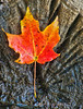 An Autumn leaf rests on cross-section of log in upper pond at historic Longstreet Farm at Holmdel Park, Holmdel, New Jersey