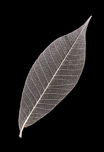 Solitary Skeleton Leaf