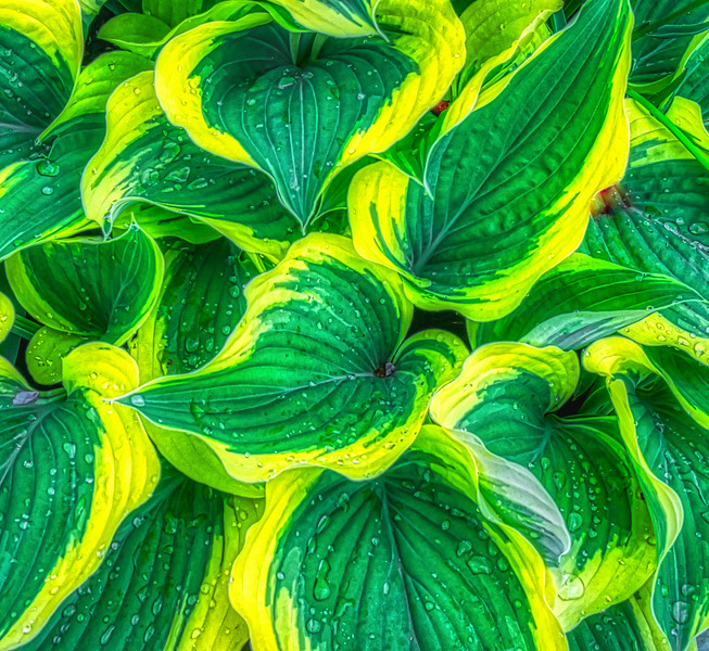 Rain On The Hosta Plant