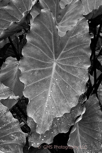Elephant Ear plant leaves with drops of moisture following rain at Deep Cut Park in Monmouth County, New Jersey