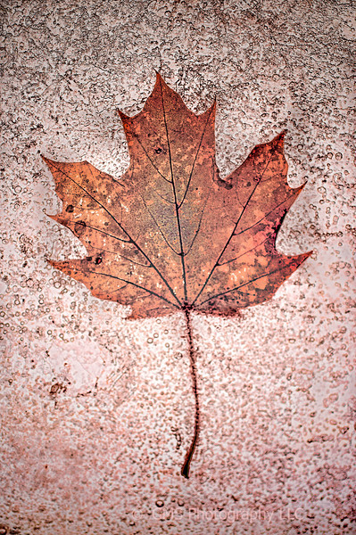 An autumn leaf takes on a mystical appearance wile trapped in layer if ice.