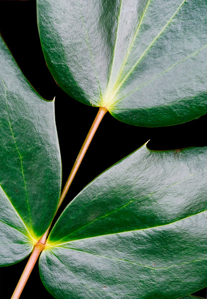Intersection Of Three Ivy Leaves