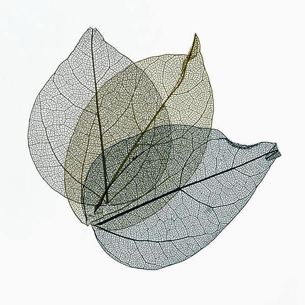 Three Overlapping Skeleton Leaves On White