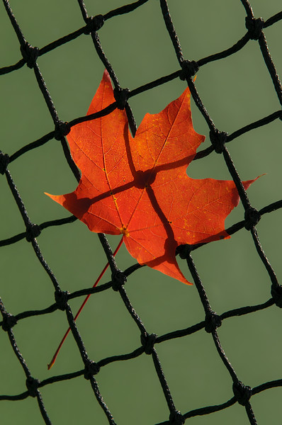 Autumn Leaf In Net