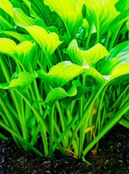 Hosta Plant From Below