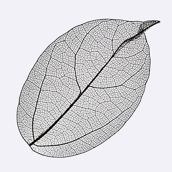 Oval Skeleton Leaf On White Background.
