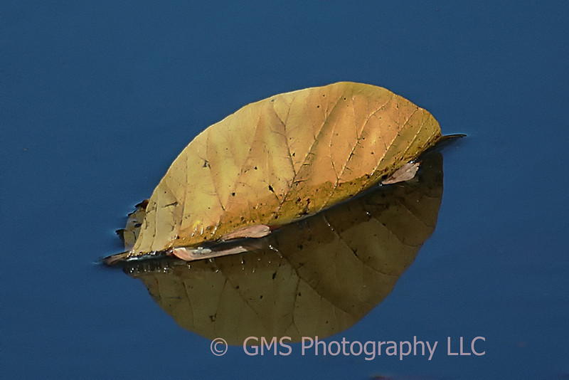 A leaf curled above the water surface and its reflection.