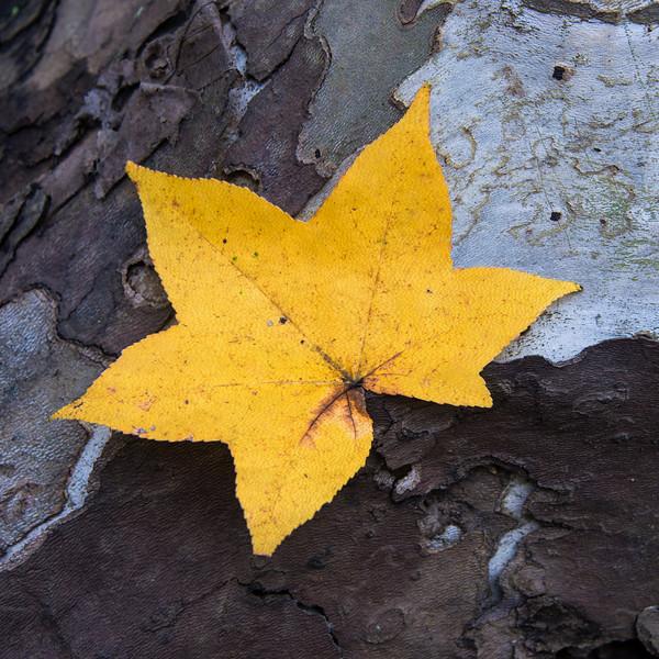 Autumn Leaf On Textured Bark