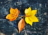 Three autumn leaves on tree trunk at Holmdel Park in Holmdel, NJ