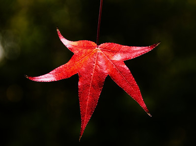 Red Leaf Dancing in the Spotlight