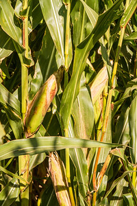Corn_Maze-12.jpg