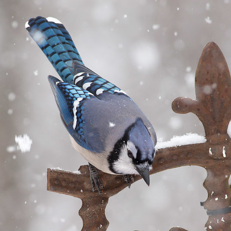 RME_Songbirds_in_Snow_Mar2015_695_20150221