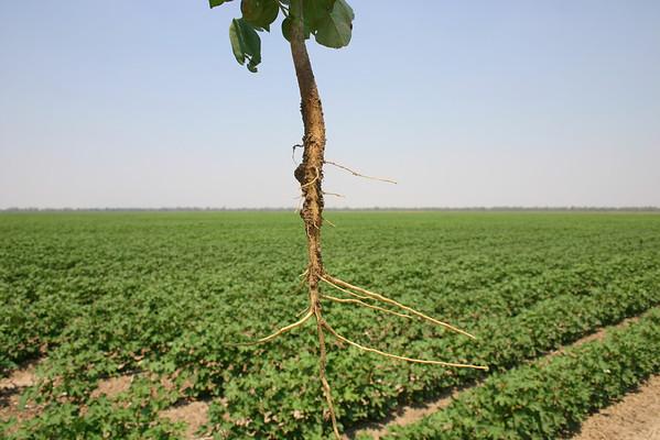 Cotton plants 3