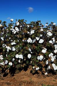 Cotton plants 8
