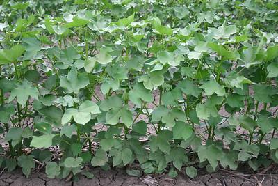 Cotton plants 6