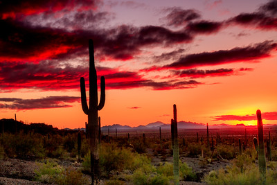 Saguaro cacti in silhouette at sunset