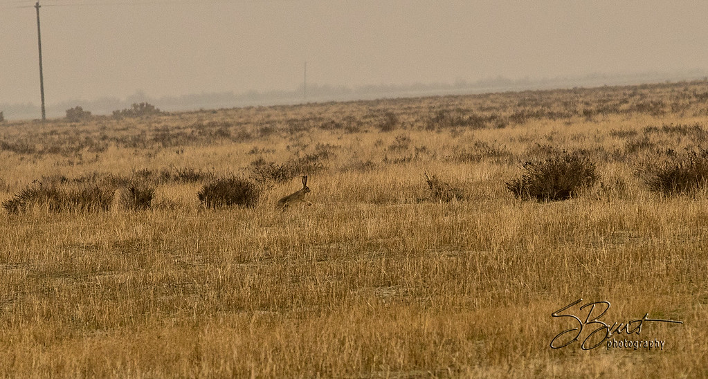 With the gallery on the other side of the field, I saw at least five of these  hares cruising across the field.