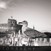 Close Up View of a Sea Gull Standing on a Bridge of with the Castle of the Holy Angel in the background, Rome, Lazio, Italy