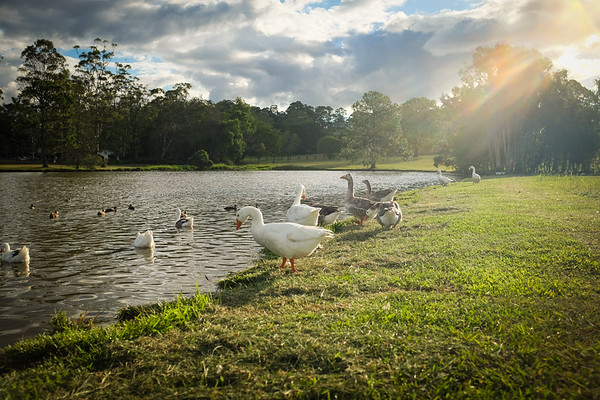 Geese in late afternoon sunlight 2014