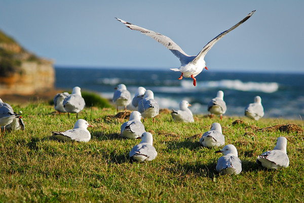 Seagull landing, La Perouse 2011