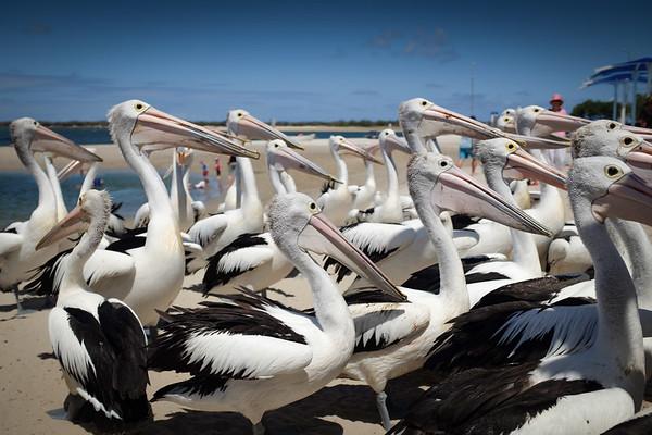 Pelicans cue for feeding, Charis' Seafood Labrador 2014