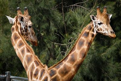 Giraffes, Canberra Zoo 2012