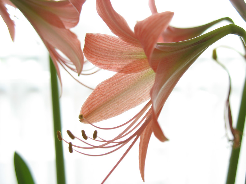 Tiger lily, 2007