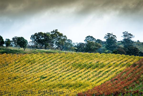 Majura Vineyards in Autumn colours, 2012